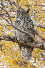 Elizabeth Boehm - Great Horned Owl roosting in Cottonwood