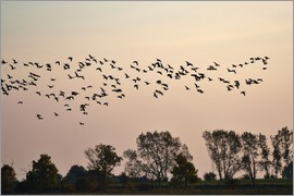 Flock in the evening light