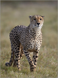 James Hager - Watchful cheetah