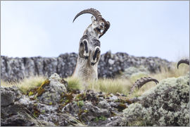Peter J. Raymond - Walia ibex rearing up on hind legs