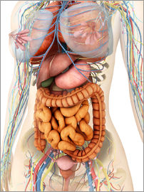 Stocktrek Images - Female body showing digestive and circulatory system