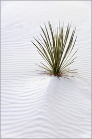 Don Grall - White Sands National Monument - Lone yucca plant survives in world's largest gypsum sand dunes