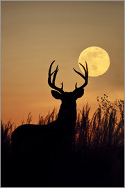 Larry Ditto - White-tailed Deer, buck with harvest moon rising, Texas, USA.