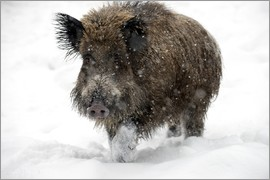 Louise Murray - Wild boar