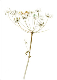 Verbrugge Watercolor - Queen Anne´s Lace