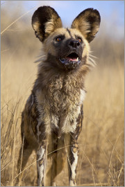Jim Zuckerman - Africa, Namibia. Wild dog close-up.