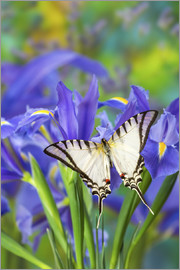 Darrell Gulin - Zebra Swallowtail Butterfly, Eurytides agesilaus autosilaus