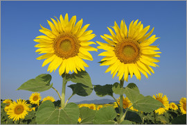 Radius Images - Two sunflowers
