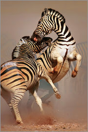 Johan Swanepoel - Two Stallions fighting and biting with raised legs