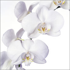 Wandsticker  Orchideenblüten - Johnny Greig