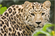 Gallery Print  Seltener Amurleopard - Power and Syred