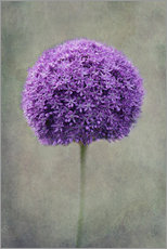 Gallery Print  allium - Claudia Moeckel
