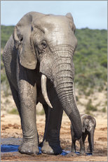 Wandsticker  African elephants (Loxodonta africana) adult and baby, Addo National Park, Eastern Cape, South Afric - Ann & Steve Toon