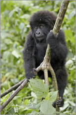 Wandsticker  Infant mountain gorilla (Gorilla gorilla beringei) from the Kwitonda group climbing a vine, Volcanoe - James Hager