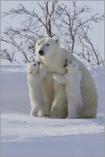 Gallery Print  Polar bear (Ursus maritimus) and cubs, Wapusk National Park, Churchill, Hudson Bay, Manitoba, Canada - David Jenkins
