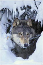 Gallery Print  Grauwolf im Winter - Kitchin & Hurst