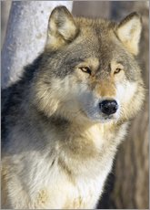 Gallery Print  Wolf - John Pitcher
