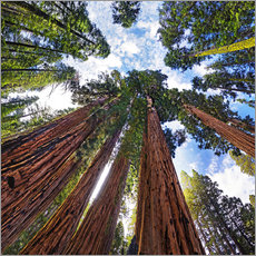 Gallery Print  Riesige Sequoia - Michael Rucker