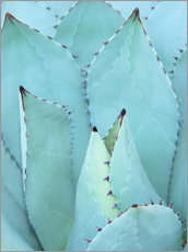 Gallery Print  Agave