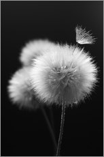 Wandsticker  Fluffy dandelions close-up