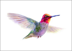 Gallery Print  Kolibri - Verbrugge Watercolor