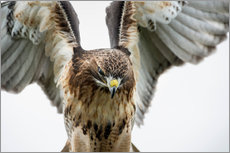 Gallery Print  Red-tailed hawk (Buteo jamaicensis), bird of prey, England, United Kingdom, Europe - Janette Hill