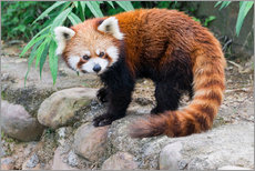 Gallery Print  Red Panda (Ailurus fulgens), Sichuan Province, China, Asia - G & M Therin-Weise