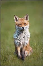 Wandsticker  Red fox - P. Marazzi
