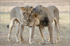 Gallery Print  African lions showing affection - Tony Camacho