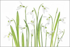 Gallery Print  Galanthus nivalis - Mandy Disher