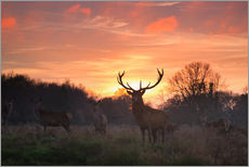 Gallery Print  Rotwild im Richmond Park - Alex Saberi