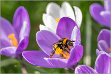 Gallery Print  Spring flower crocus and bumble-bee - Remco Gielen