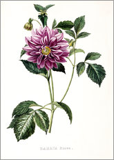 Gallery Print  Dahlia Rosea - French School