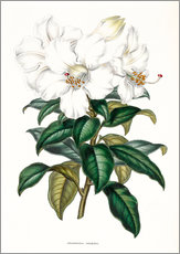 Wandsticker  Rhododendron calophyllum - Sowerby Collection