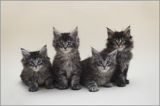 Wandsticker Maine Coon Kittens 2