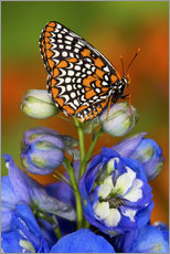 Wandsticker  Baltimore checkerspot auf Blume - Darrell Gulin