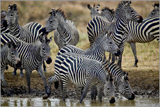 Wandsticker  Zebraherde am Wasserloch - James Hager
