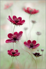 Gallery Print  Cosmos pl - Mandy Disher