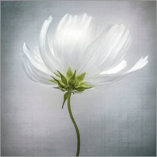 Gallery Print  Kosmos - Mandy Disher