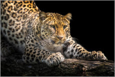 Gallery Print  Leopard auf der Lauer - Friedhelm Peters