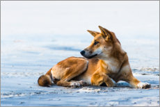 Premium-Poster  Dingo am Seventy Five Mile Beach - Andrew Michael