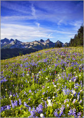 Gallery Print  Blumenwiese am Mount Rainier - Chuck Haney