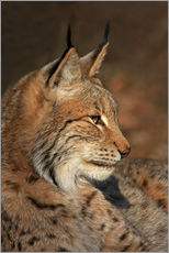 Gallery Print  Luchs - Wolfgang Dufner