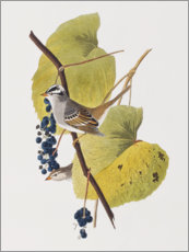 Gallery Print  Spatz - John James Audubon