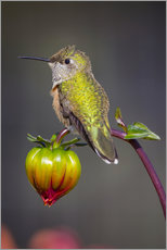Wandaufkleber  USA, Colorado. Hummingbird rests on flower bud. Credit as: Fred Lord / Jaynes Gallery / DanitaDelimo - Fred Lord