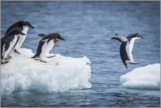 Adelie penguins between two ice floes