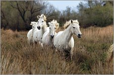 Camargue horses in the marsh