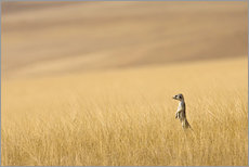 Hoarusib Valley, Namibia. Africa. A Meerkat stands tall in the prarie grass.