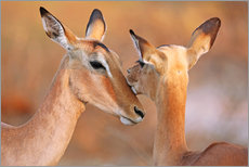 Impala friends, South Africa