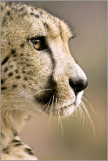 Livingstone, Zambia. Close-up of Cheetah profile.